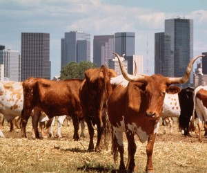 Dallas Longhorns
